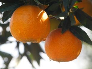 clementinas.jpg